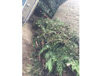 Chopped conifers/trees