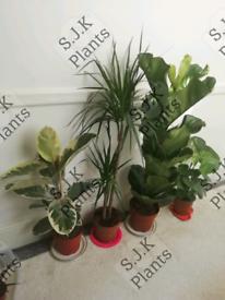 4 large plant bundle fiddle fig dracaena rubber