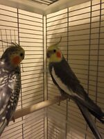Cockatiel couple 180$