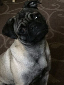 Male neutered pug