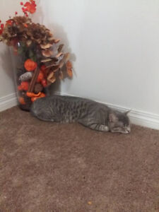 Male Grey Cat - Lost in Spruce Grove