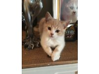 GCCF pedigree British shorthair kittens for sale £450