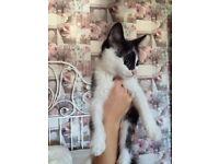 Gorgeous Little Kitten Boy / Male