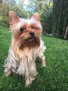 PB Yorkshire Terrier Female 4.5lbs
