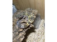 Leopard gecko for sale £40