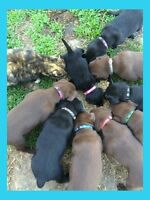 Ckc Labrador Retriever puppies for sale