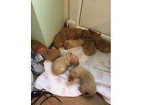Kc reg Labrador puppies scotland