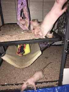 Hairless Rats for sale ! Kawartha Lakes Peterborough Area image 2