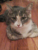 Lovely dilute Calico