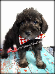 SCHNOODLES~ Schnauzer poodle-GENETIC TESTED parents