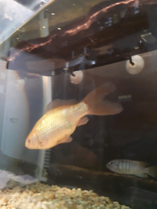 Poisson rouge A DONNER.