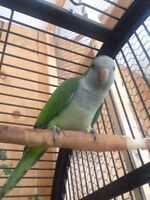 Green Quaker with Cage For Sale!