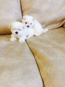 Registered Maltese puppies