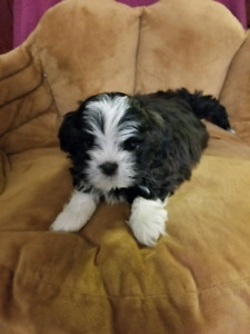 Cute Malshi Puppies for Sale