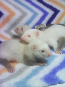 Baby ferrets privately bred