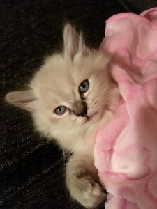 Beautiful BLUE EYED Ragdolls x Himalayan!