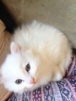 Fluffy pure white kitten looking for furever home!