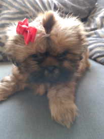 Beautiful girl shih tzu puppys