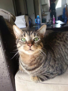Male tabby cat to forever home!