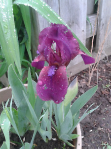 Beautiful iris bulbs.Plant now for spring!