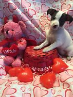 Chihuahua X Toy Fox Terrier puppies ready now!!PRICE FIRM