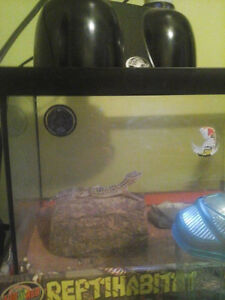 Gecko and tank for sale