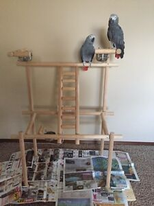 male and female bonded African greys