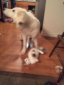 Looking For: Great Pyrenees Puppy
