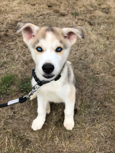 Rehoming for Siberian Husky puppy
