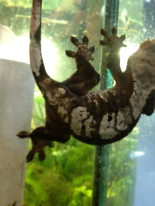 Female Adult Crested Gecko