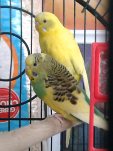 Beautiful Budgie sisters for sale
