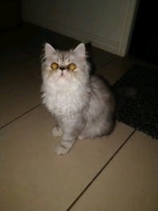 Exotic Persian male for sale