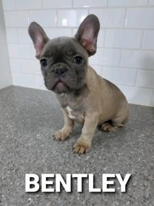 French Bulldog Adopt Dogs Puppies Locally In Canada