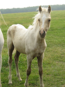 Sold to Kansas, USA from F/B Palomino Colt