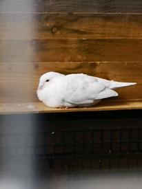 Logan pigeons