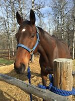 11yr old thoroughbred gelding