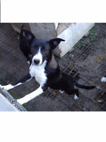 Young Border Collies need homes FAST!!!!