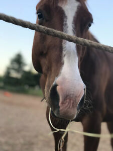 Looking for a husband horse