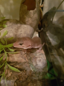 3 female leopard geckos with 20 gal and accessories