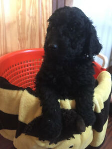 F2B Labradoodle Puppies for sale