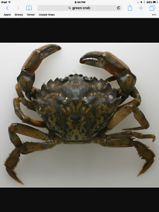 Green Crab lic. Complete package