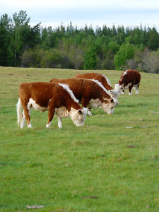 Miniauture Hereford Cattle