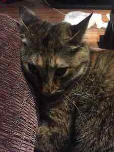 LOST - Looking for our Tabby Cat Kingston Kingston Area image 2