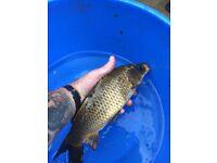 "10"" - 12"" pond fish, koi, Common, mirror, ghost carp, fishing"