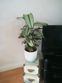 Calathea white star healthy large indoor tropical plant not pot