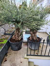 olive trees Further PRICE DROP to clear