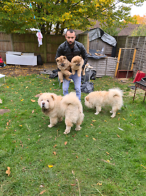 chow chow puppies, healthy and beautiful