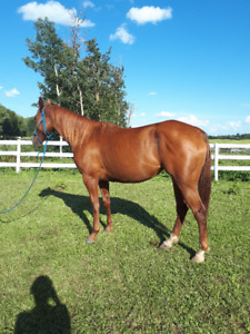 4 Year Old AQHA Filly
