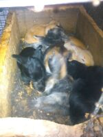 litter of pure harlequin bunnies for sale.