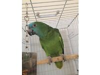Blue fronted Amazon parrot closed rung with large cage